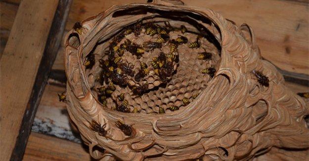 Katil arılarından Türkiye'de bir ilk