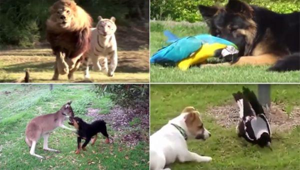 Şaşırtan Hayvan Dostlukları