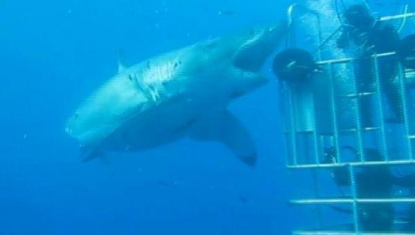 Şimdiye Kadar Görülen En İri Köpek Balığı !